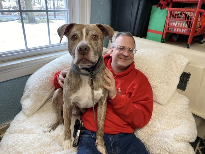 Leo, an adoptable Pit Bull Terrier Mix in Armonk, NY_image-4