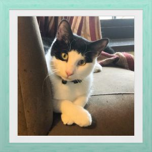 Meet adorable Georgie Washington who loves to playwith humans dogs and other cats  cuddle  pu