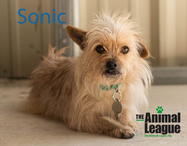 Sonic, an adoptable Norwich Terrier & Terrier Mix in Clermont, FL_image-1