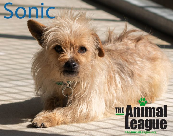 Sonic, an adoptable Norwich Terrier & Terrier Mix in Clermont, FL_image-2