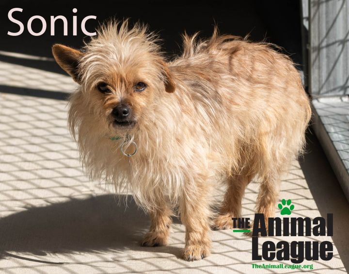 Sonic, an adoptable Norwich Terrier & Terrier Mix in Clermont, FL_image-3