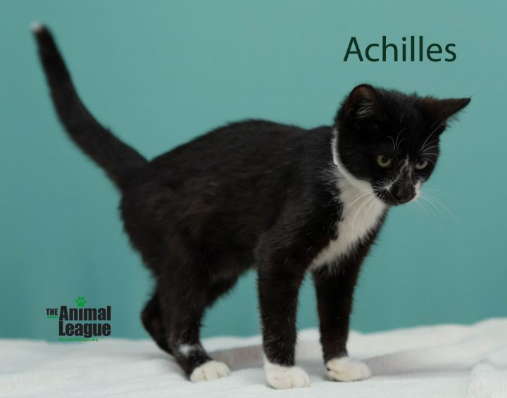 Achilles, an adopted Domestic Short Hair Mix in Clermont, FL_image-2
