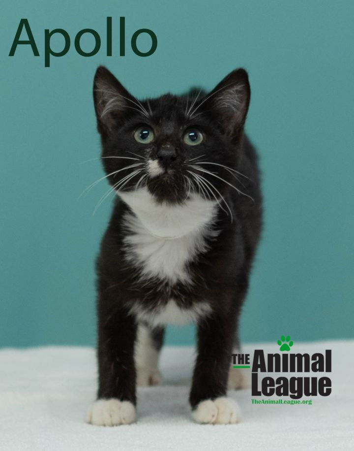 Apollo, an adopted Domestic Short Hair Mix in Clermont, FL_image-1