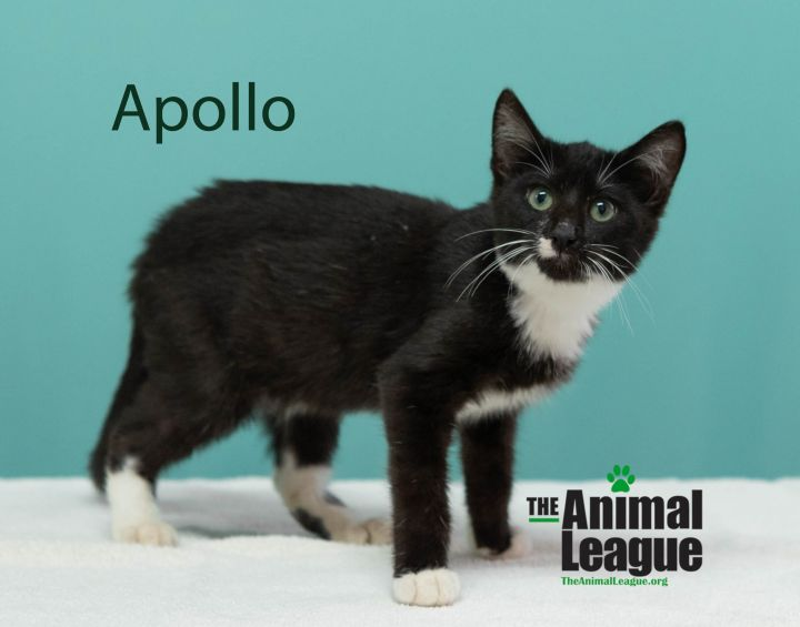 Apollo, an adopted Domestic Short Hair Mix in Clermont, FL_image-2