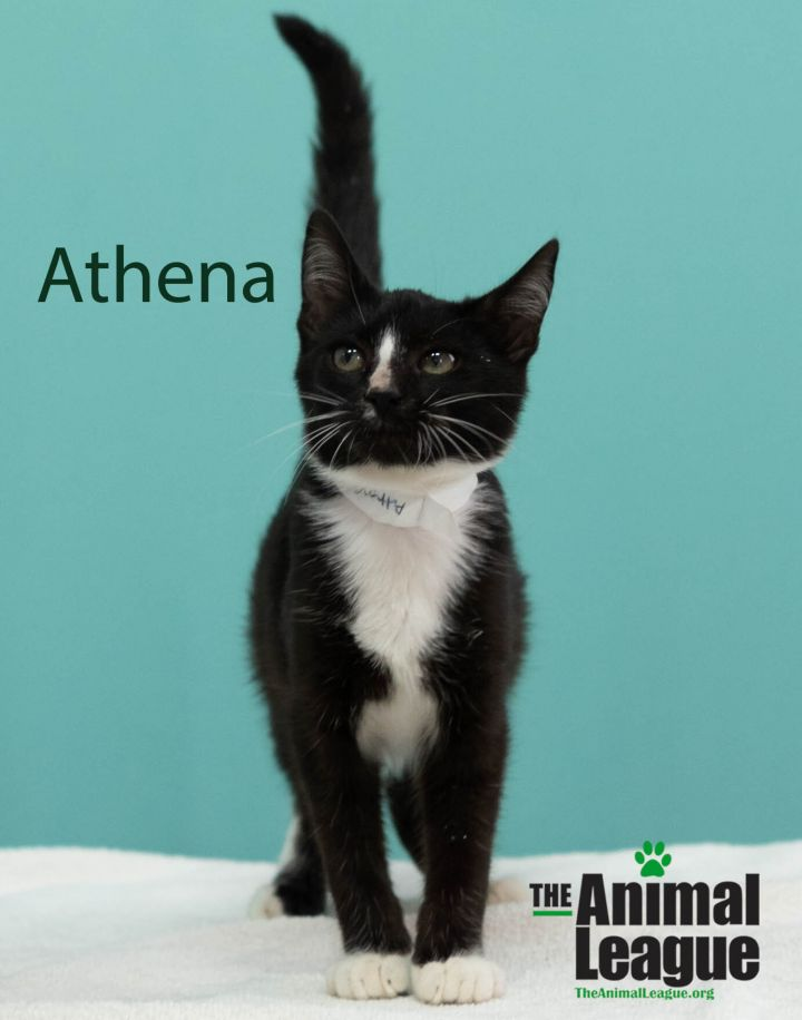 Athena, an adoptable Domestic Short Hair Mix in Clermont, FL