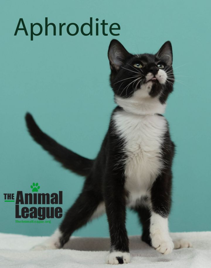Aphrodite, an adopted Domestic Short Hair Mix in Clermont, FL_image-1
