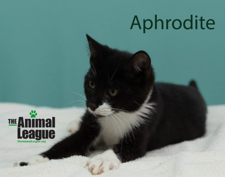 Aphrodite, an adopted Domestic Short Hair Mix in Clermont, FL_image-2