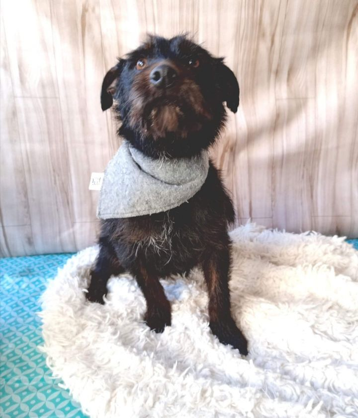 Peetie, an adopted Terrier & Schnauzer Mix in San Diego, CA_image-2