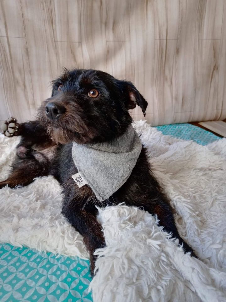 Peetie, an adopted Terrier & Schnauzer Mix in San Diego, CA_image-3