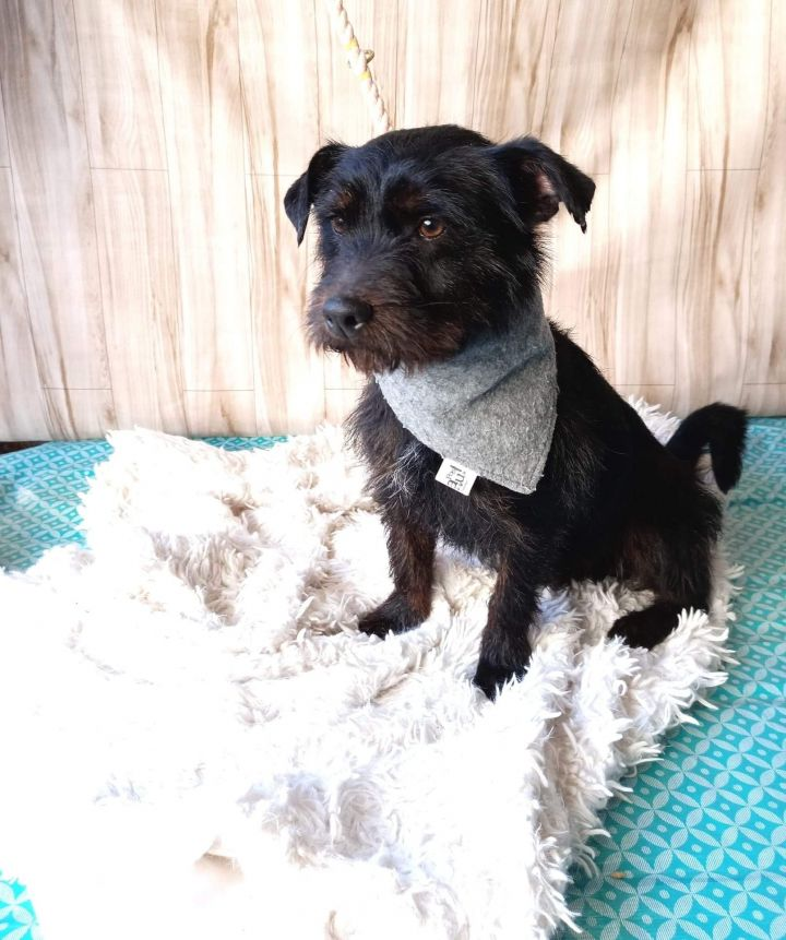 Peetie, an adopted Terrier & Schnauzer Mix in San Diego, CA_image-1