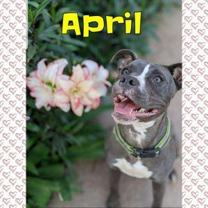 Hi Im April Cuddlebug My foster mom says I am a cutie  I am friendly and playful I love