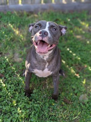 April American Staffordshire Terrier Dog