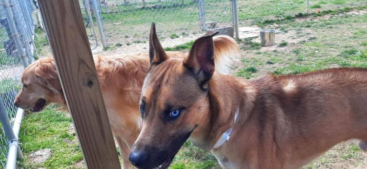 Yote, an adoptable Shepherd Mix in Unionville, CT
