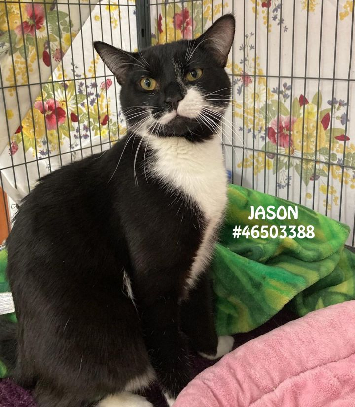 Jason, an adoptable Tuxedo in Wilkes Barre, PA