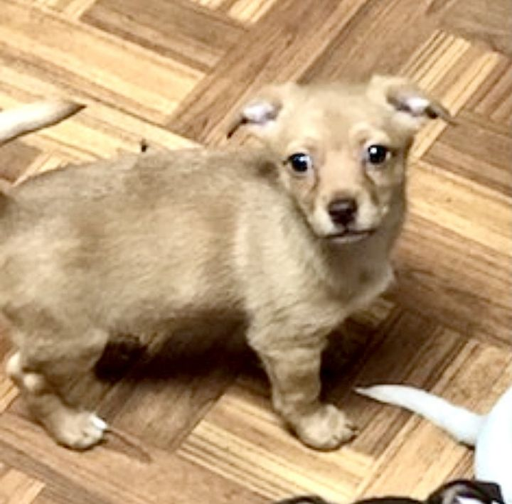 Tater, an adopted Chihuahua Mix in Charlottesville, VA_image-1