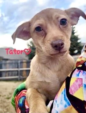Tater, an adopted Chihuahua Mix in Charlottesville, VA_image-5