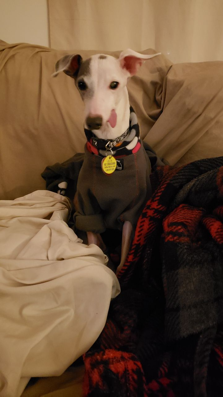 Tucker, an adoptable Italian Greyhound in Anderson, SC_image-1