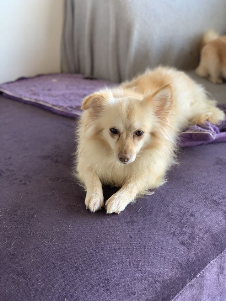 Emmy, an adoptable Pomeranian Mix in Studio City, CA