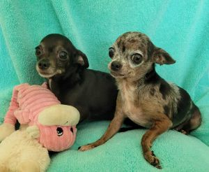 A couple of months ago three senior female chihuahuas were abandoned in a box in