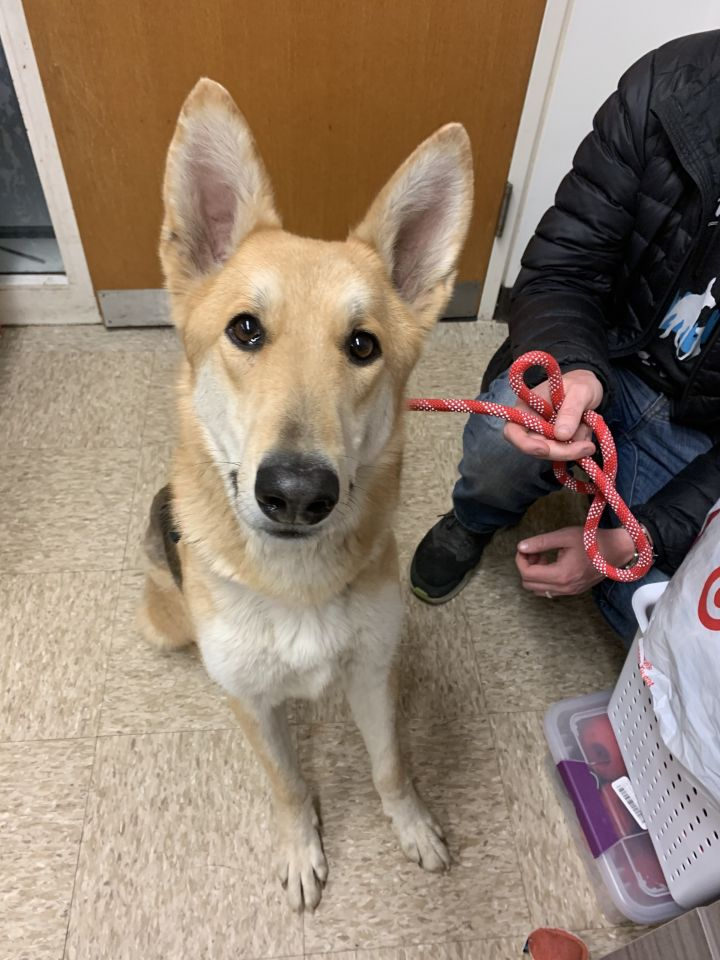 Max C., an adoptable German Shepherd Dog in Chicago, IL