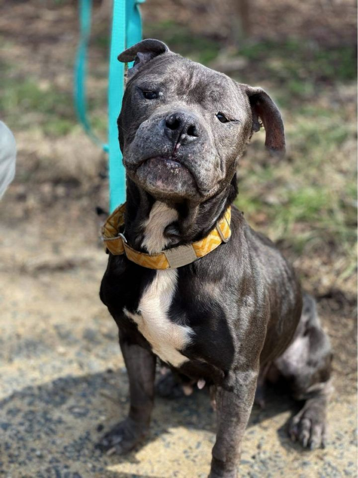 THE MONKEY!, an adoptable Pit Bull Terrier Mix in Philadelphia, PA