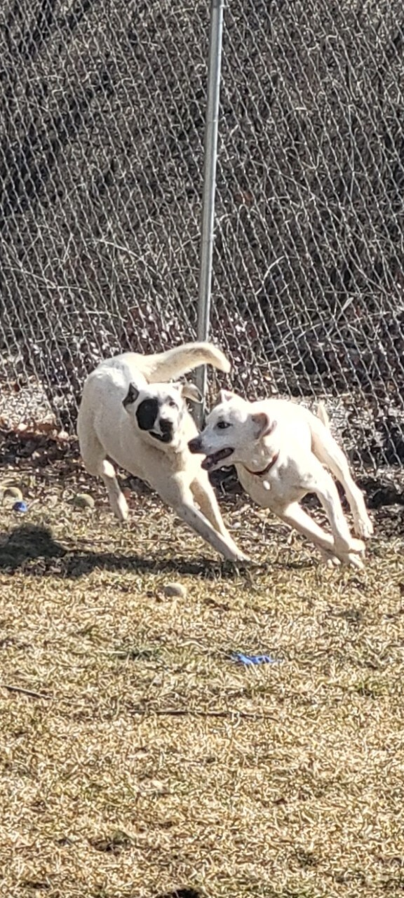 Dottie, an adoptable Great Pyrenees & Labrador Retriever Mix in Ringwood, NJ_image-5