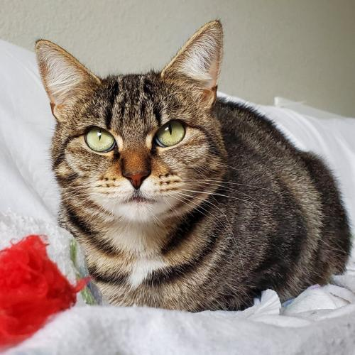 Angelica, an adoptable Tabby & Domestic Short Hair Mix in Springfield, OR