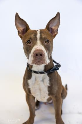 Macho, an adoptable Pit Bull Terrier Mix in Clarks Summit, PA