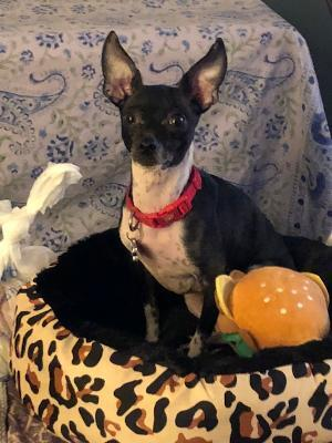 Peaches is a little 8 pound chihuahuaminpin mix She is 6 years old She is bla