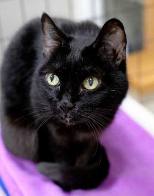 Koko Domestic Short Hair Cat