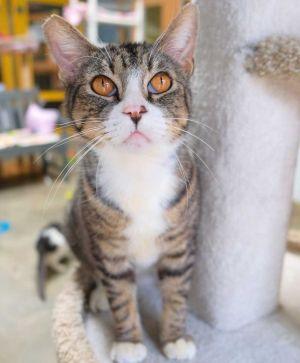 Devon Tabby Cat