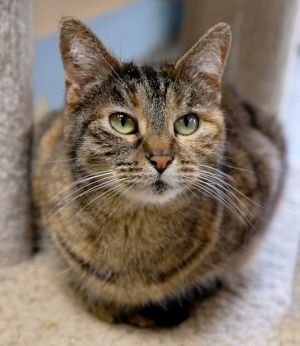 Joey Tabby Cat