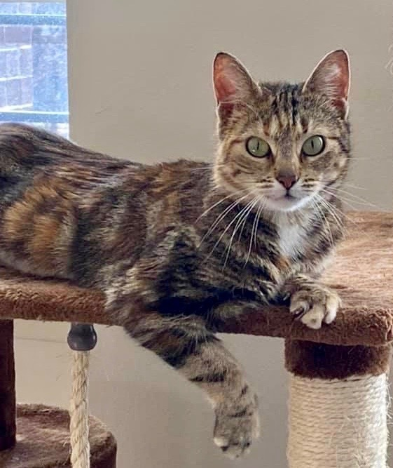 Amber, an adoptable Domestic Short Hair in Greenburgh, NY
