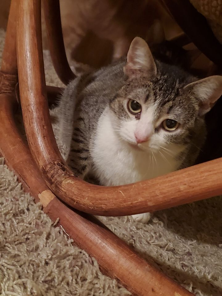 Marlee A-2860, an adoptable Tabby & Tuxedo Mix in Eaton Rapids, MI