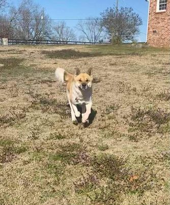 Kuma, an adoptable Akita in Toms River, NJ