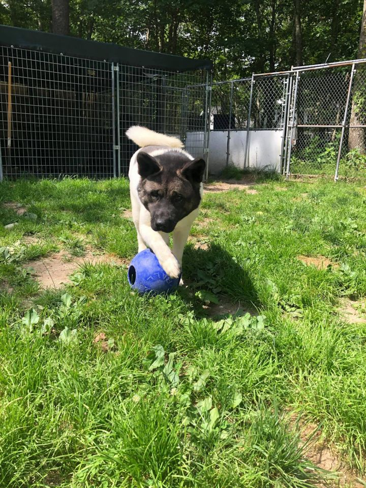 Emma, an adoptable Akita in Toms River, NJ