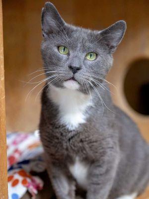 Murray Tuxedo Cat