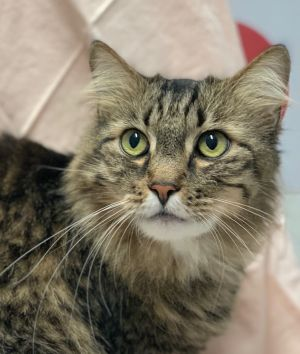 This striking looking boy is Shandy We think he is a Maine Coon mix as he is quite large at