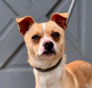 This sophisticated boy is Chadwick He is a terrierchi mix who is approximately 2 yrs old good wit