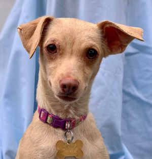 This is Janet Janet is a 2 yr old MinPinDoxie mix and came into the Amanda Foundation with her two