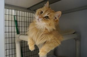 Saige is a two year old spayed long-hair orange tabby She has a calm reserved demeanor and is swe