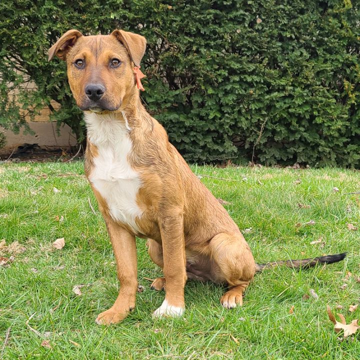 Sampson, an adoptable Boxer & German Shepherd Dog Mix in Cincinnati, OH