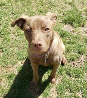 Meet Sadie a sweet nine-month-old 46 lb lab mix Sadly this beautiful girl was surrendered to a s