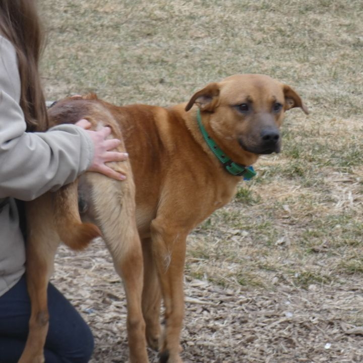 Rex, an adoptable Labrador Retriever Mix in Ringwood, NJ