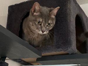 Dolly Domestic Short Hair Cat