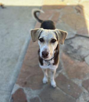 Alma Beagle Dog
