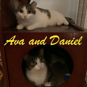 Daniel and Ava are about 3 years old fully vaccinated and negative for FIVFeLV They are a very lo