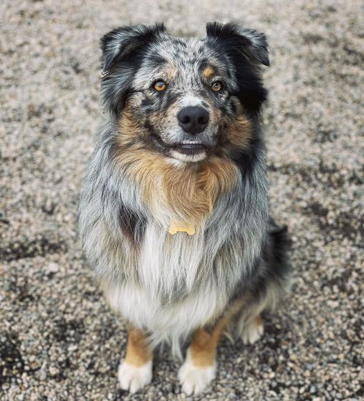 Atticus, an adoptable Australian Shepherd Mix in Cincinnati, OH_image-2
