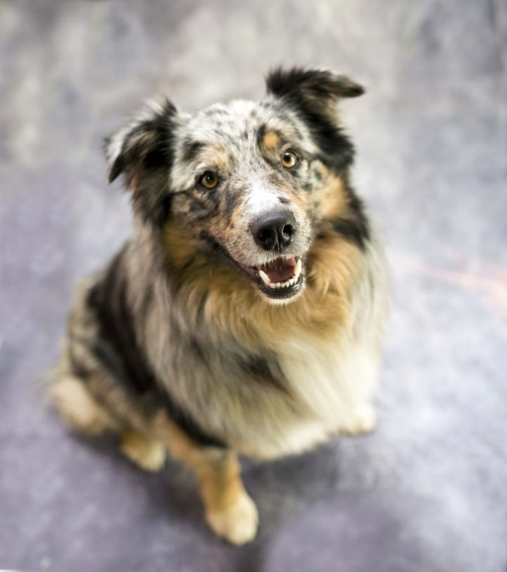 Atticus, an adoptable Australian Shepherd Mix in Cincinnati, OH_image-3