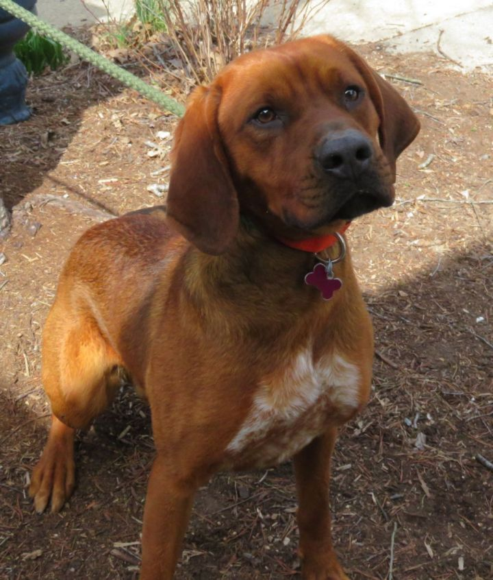 Smokey, an adoptable Redbone Coonhound Mix in Lexington, VA_image-3